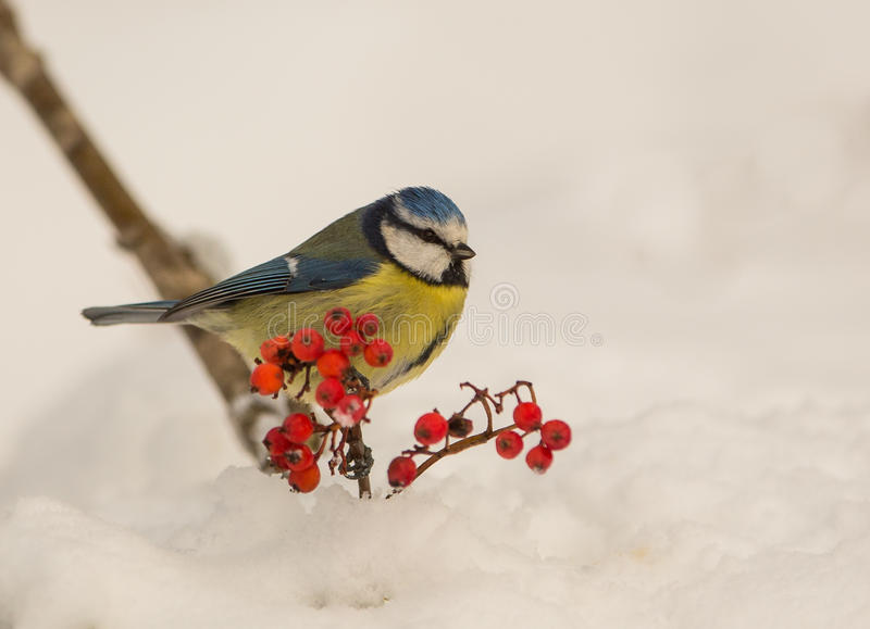 Download Blue Tit in winter time stock image. Image of paridae - 29650799