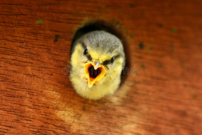 Download Blue Tits stock image. Image of bird, spring, cheep, call - 2632129