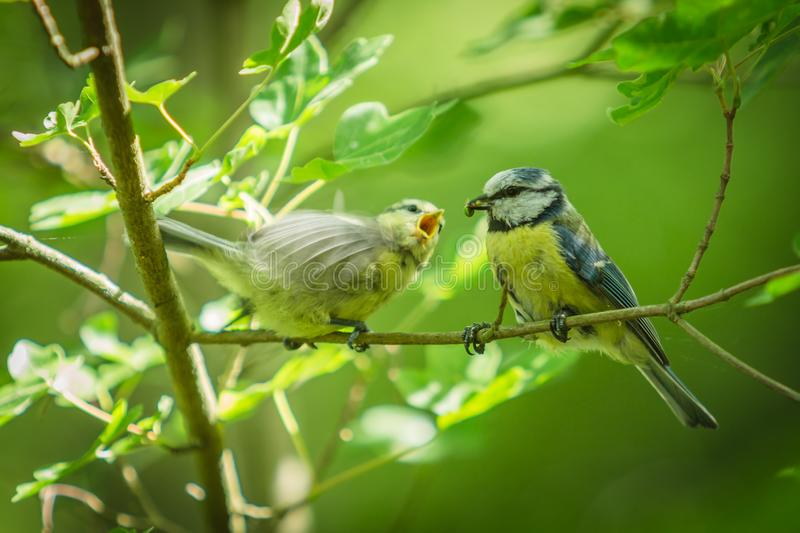 Blue tits on twig, one feeding a baby stock photos