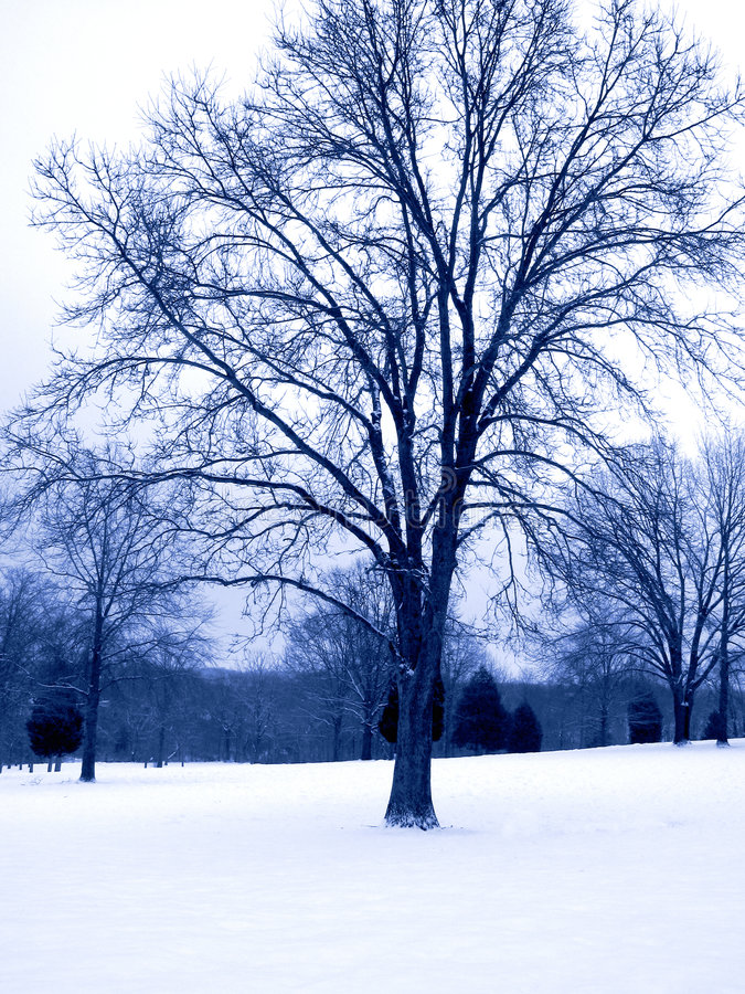 Download Blue Tone Winter Tree stock photo. Image of park, snow, outdoors - 86592