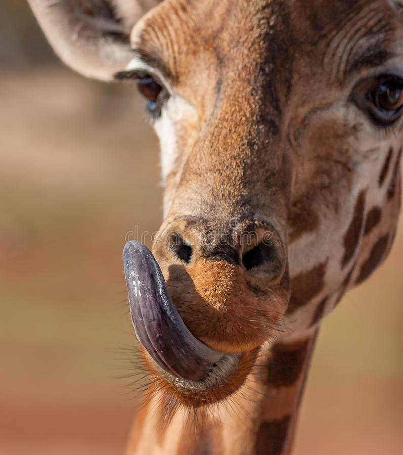The blue tongue of the giraffe stock photos