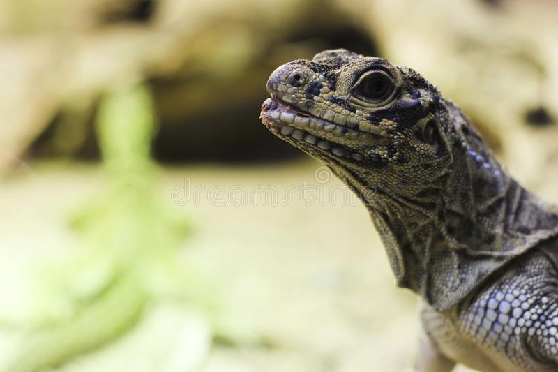 Download Blue tongue lizard stock image. Image of animal, green - 26940861
