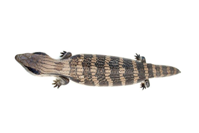Download Blue Tongue Lizard #4 stock image. Image of lizard, pattern - 1519603