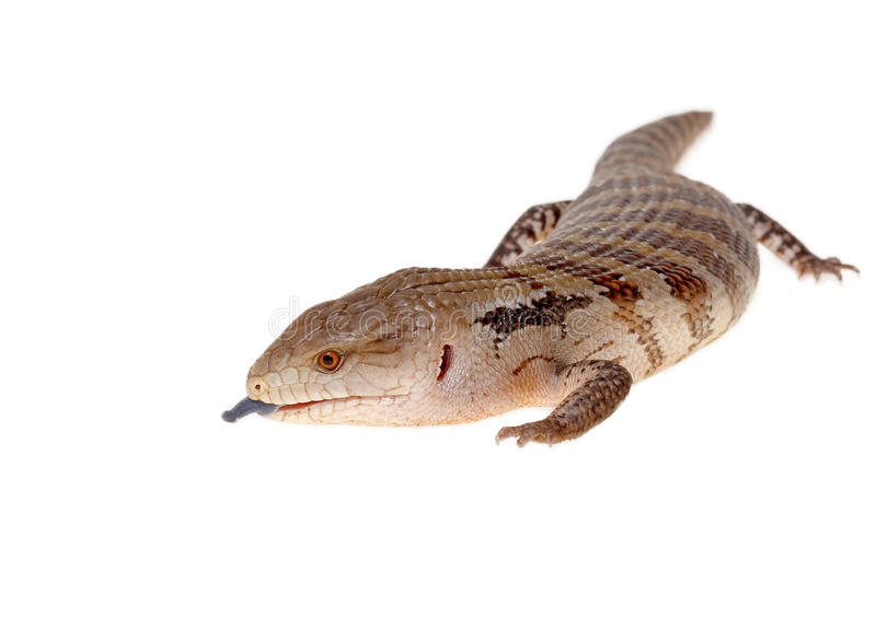Blue tongue lizard stock images