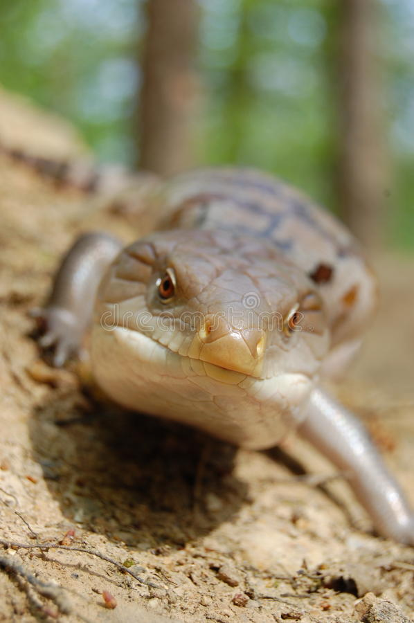 Blue Tongue Skink. From Austrlia stock images