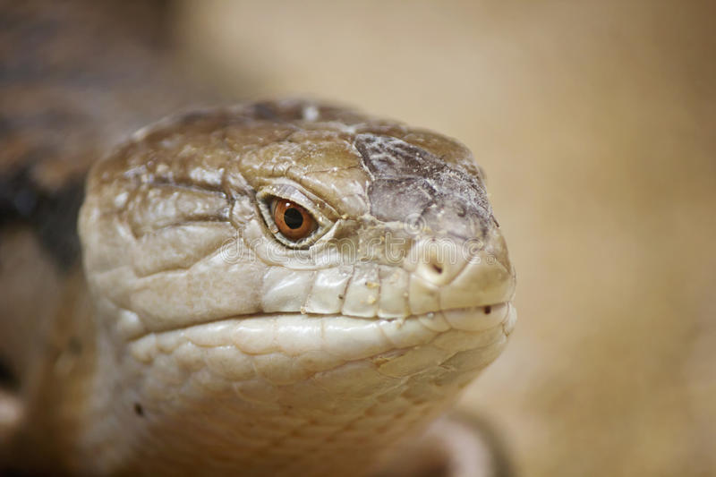 Download Blue Tongued Skink Royalty Free Stock Photo - Image: 32189245