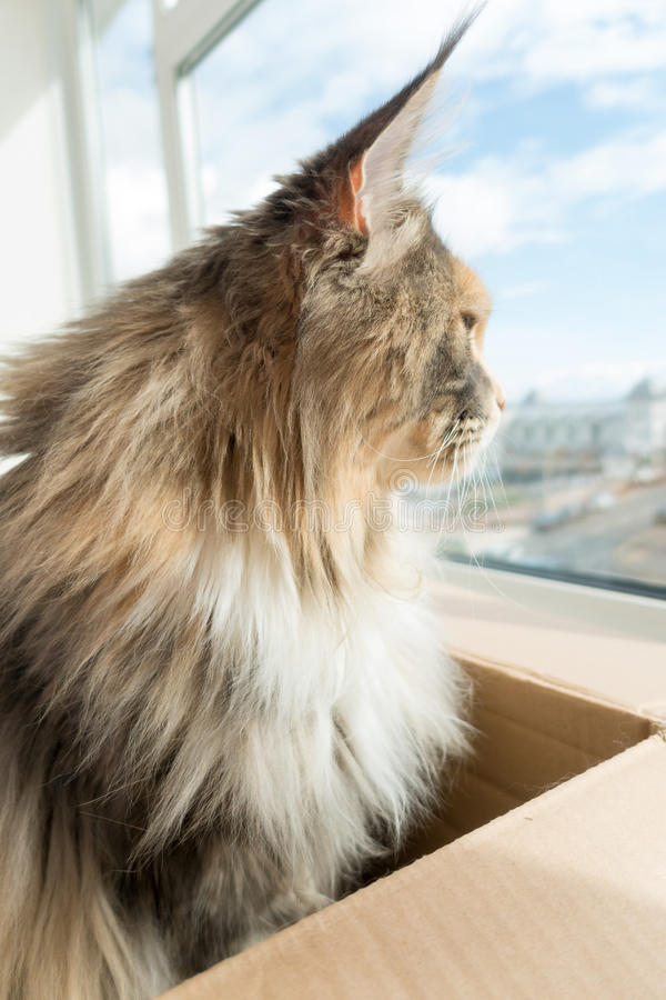 Blue tortie tabby with white Maine Coon cat looking out of the W. Blue tortie tabby with white Maine Coon cat with extremely long lynx tips on her large ears royalty free stock photography