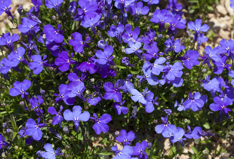 Blue Trailing Lobelia Sapphire flowers or Edging Lobelia, Garden Lobelia in St. Gallen, Switzerland photo. Its Latin name is Lobel. Ia Erinus `Sapphire`, native stock photography