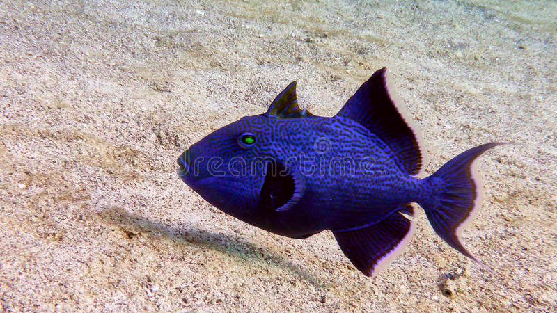 Blue trigger fish in the Red sea. royalty free stock images