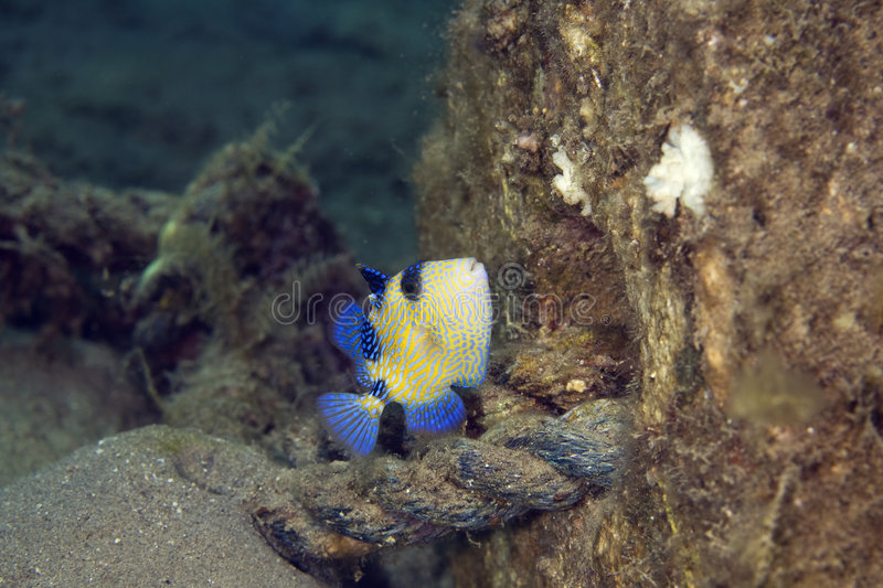 Blue triggerfish stock photography
