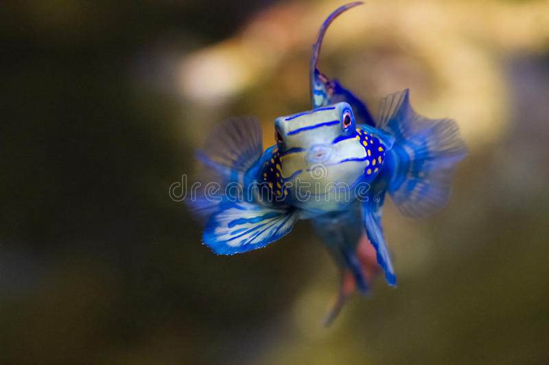 Download Blue tropical fish stock image. Image of mouth, floating - 55867509