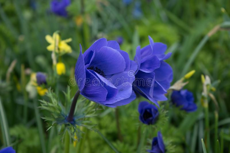 Blue tulip flower in a garden in Lisse, Netherlands, Europe stock images