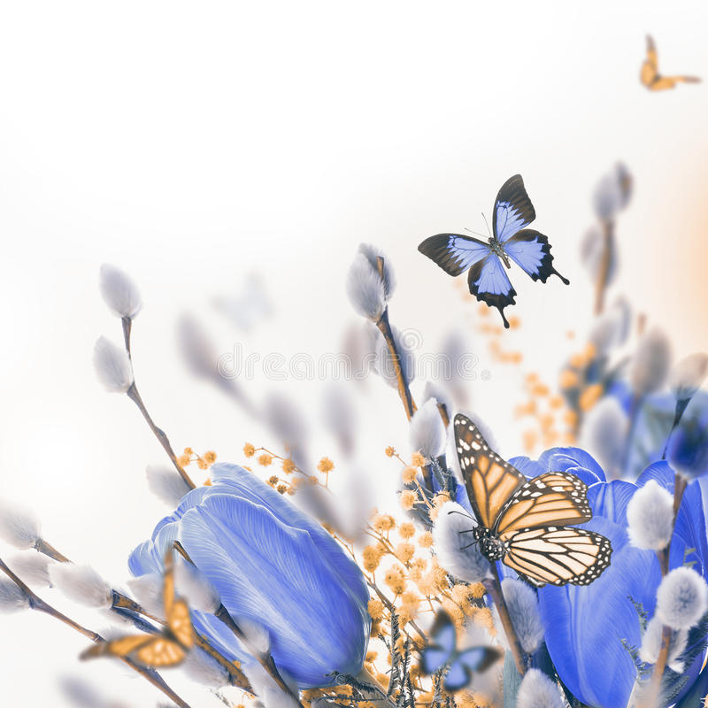 Blue tulips with mimosa and butterfly. Spring background stock photography