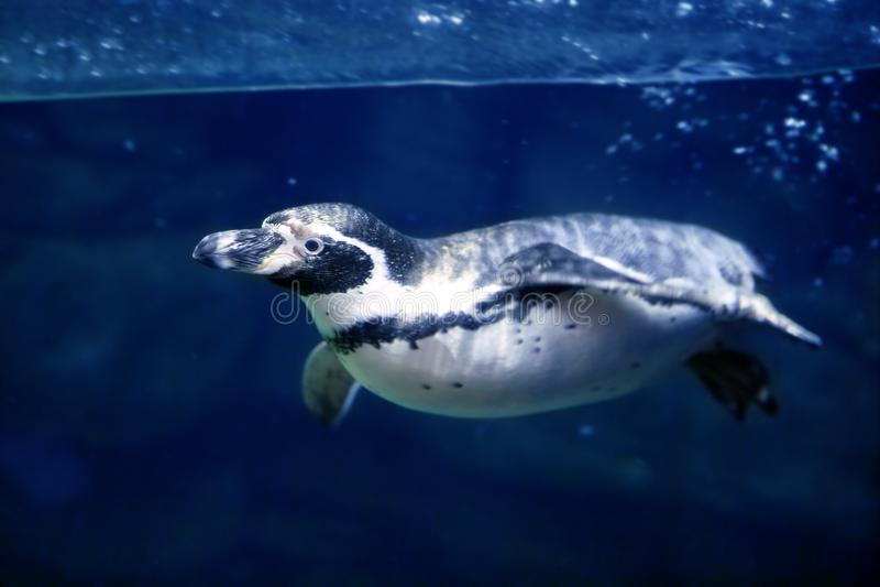 Blue underwater Penguin swimming under water surfa