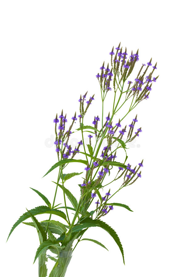 Blue Vervain stock image
