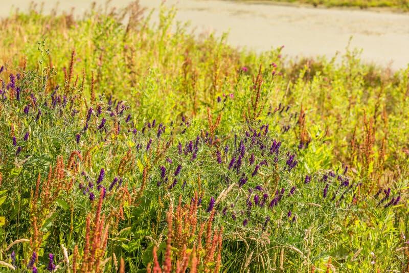 Blue vetch, Vicia sepium, purple flowering Hedges royalty free stock image
