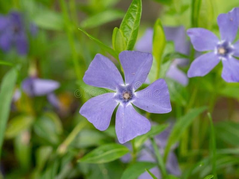 Blue vinca minor flower closeup. Tender violet petals of Vinca blossom macro. Beautiful spring blooming season. Single periwinkle. Blue lesser periwinkle Vinca stock photography