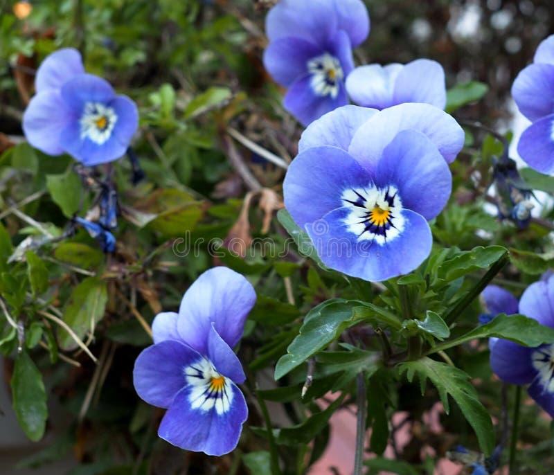 Blue Violas Or Pansies In Bloom stock images