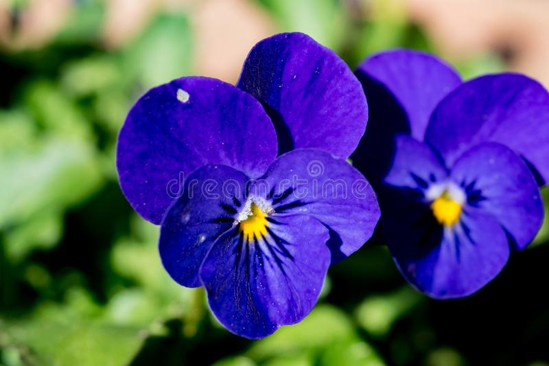 Blue violas in a planter box royalty free stock image