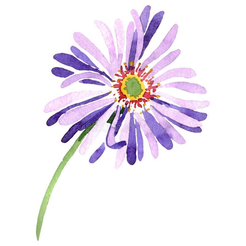 Blue violet aster floral botanical flower. Watercolor background illustration set. Isolated aster illustration element. vector illustration