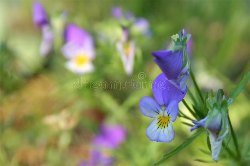 A blue violet flower in meadows in sunny day. A photo of a beaufiful blue violet flower in meadows. In background, there are other violets bathing in sunshine stock photo