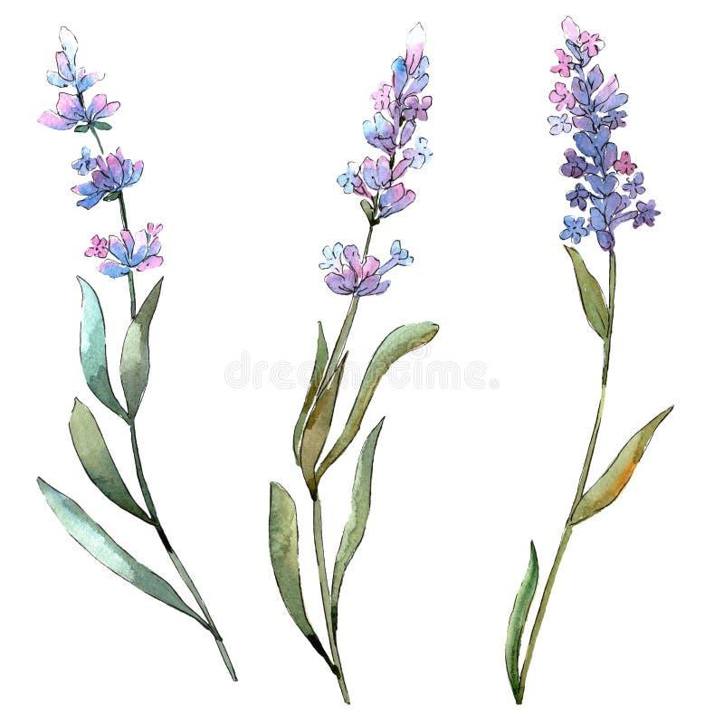 Blue violet lavender floral botanical flowers. Watercolor background set. Isolated lavender illustration element. vector illustration