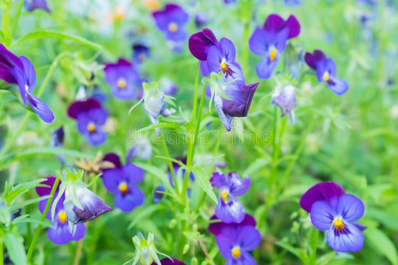 Blue and violet pansies in the summer garden. royalty free stock photos
