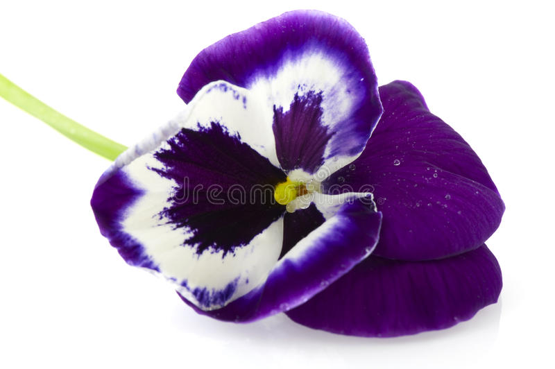 Blue Violet Pansy royalty free stock photos
