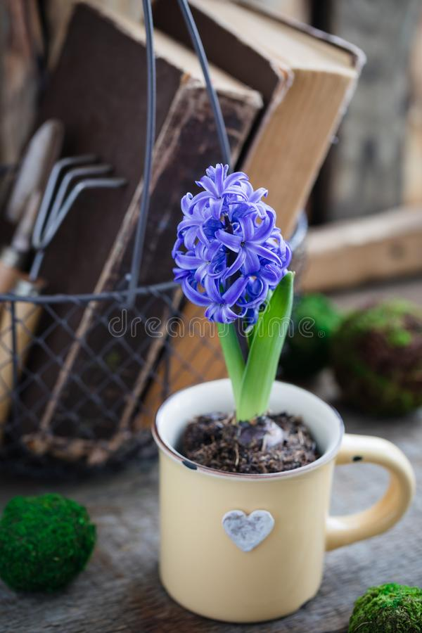 Blue or violet spring hyacinth in the cup over old books with garden instruments. Easter postcard concept. stock image