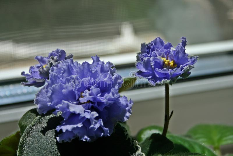 Blue violets begins to bloom. African violet begins to bloom. African violet is perfect indoor plant. Beautiful flower royalty free stock images