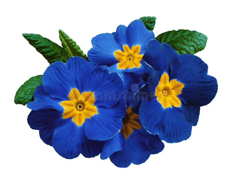 Blue violets flowers, white isolated background with clipping path. Closeup. no shadows. For design. royalty free stock photo