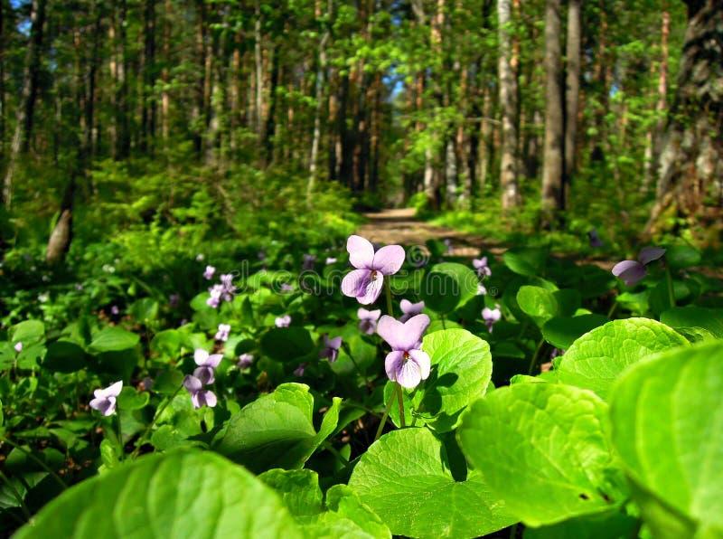 Blue violets royalty free stock photo