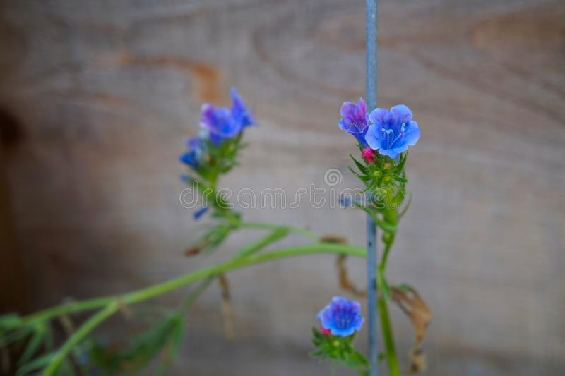 Blue Viper s bugloss -Echium vulgare- inflorescence on a fence . Wooden background royalty free stock photos