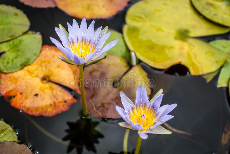 Blue water lilies in colorful pond royalty free stock images