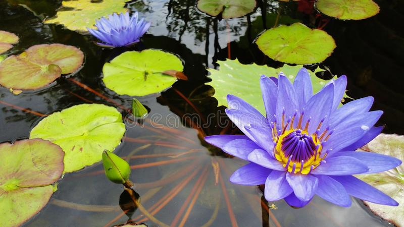 Blue Water Lilies. Floating in a pond stock photography