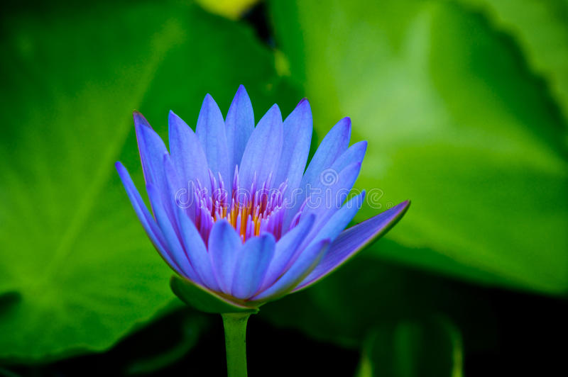 Blue Water Lilly in the Pond royalty free stock image