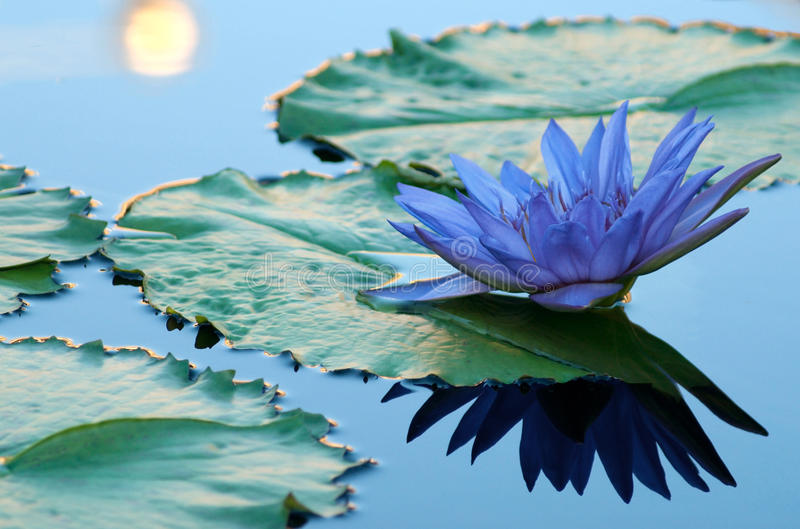 Blue water lily royalty free stock images