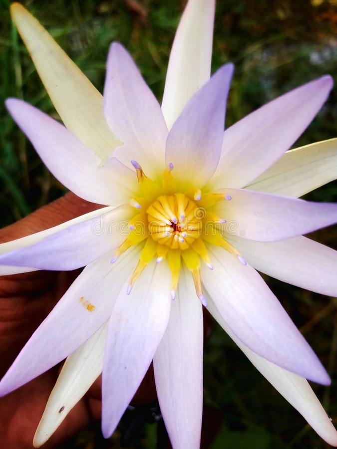 Blue water lily flower beautiful image india stock photography