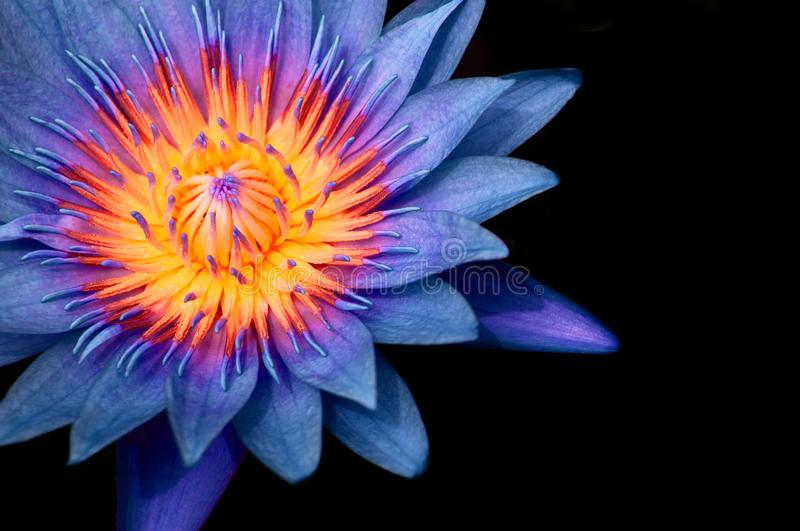 Blue Water Lily,  Blue Lotus macro shot pistil and stamen detail isolated on black. Macro shot of full bloom blue star water lily. Deep blue lotus flower petal stock images