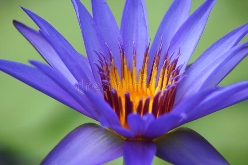 Blue water lily macro. This is a macro shot of the radiant yellow center of a blue-purple water lily with light green blurred background royalty free stock photos
