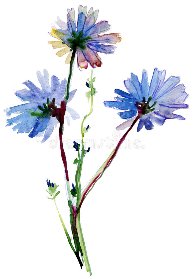Blue watercolor flowers. Painting of blue watercolor flowers. chicory