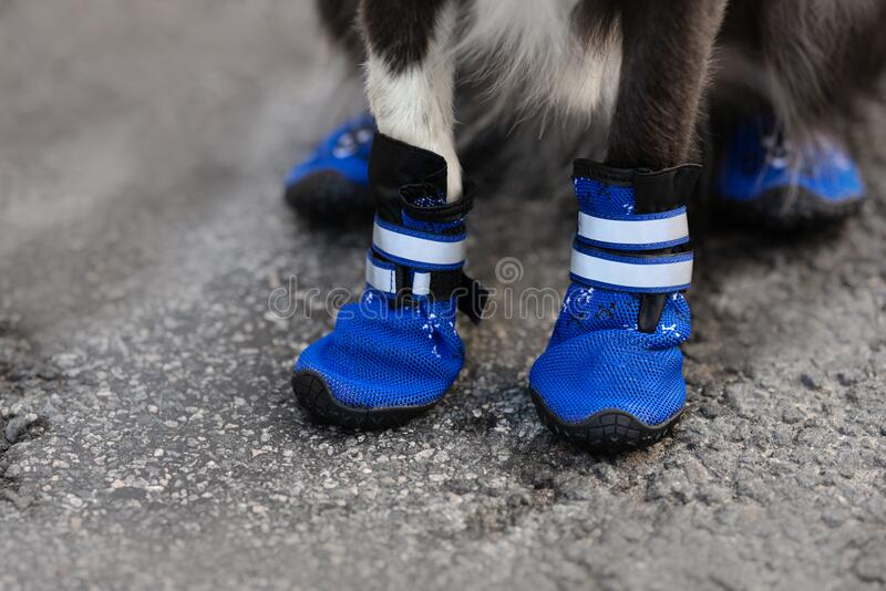 Blue waterproof dog boots on dog paws close up royalty free stock photo