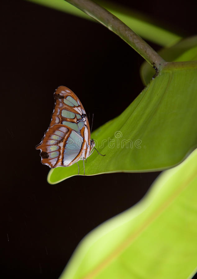 Blue Wave Butterfly stock image