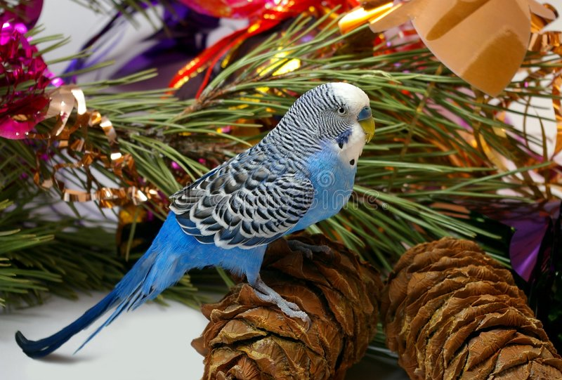 Download Blue Wavy Parrot And Cedar Big Shots Stock Photo - Image of brown, tree: 7131716
