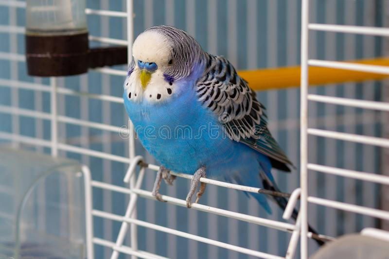 Blue wavy parrot sits at the exit of the cage royalty free stock image