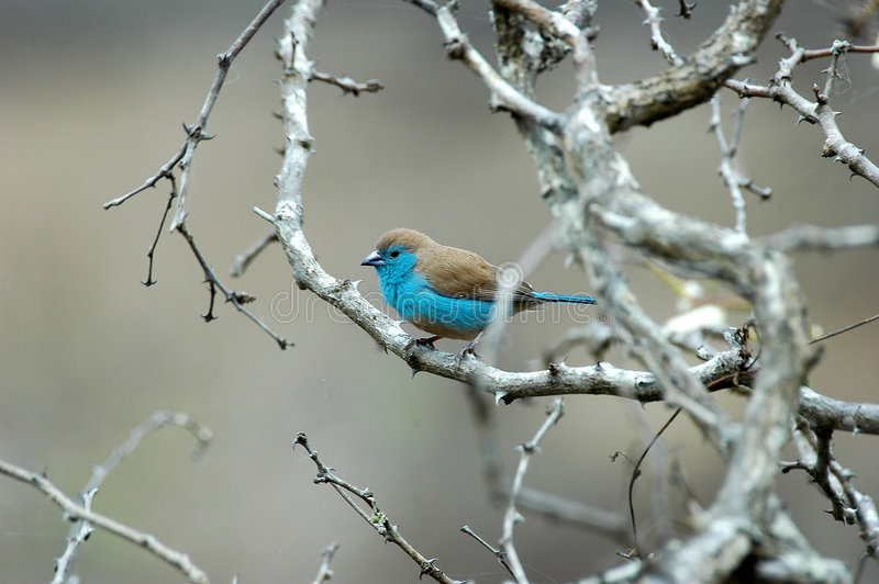 Blue Waxbill. At Kruger National park, South Africa stock photos
