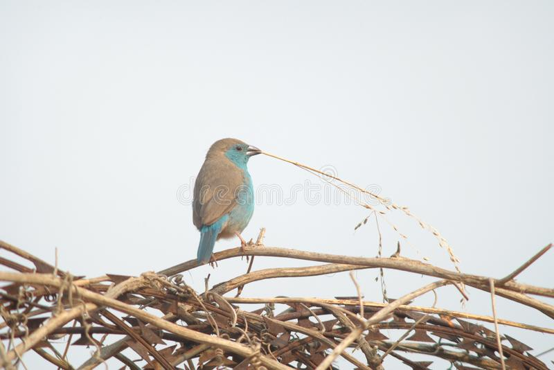 Blue waxbill with dried weed in beak. Angola stock photos