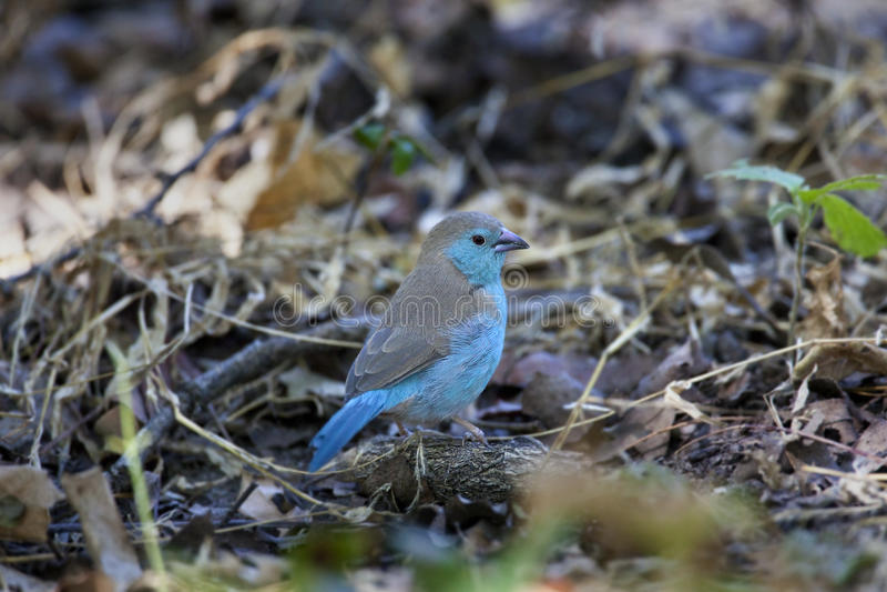 Download Blue Waxbill (Uraeginthus Anglolensis) - Botswana Stock Photo - Image: 23185960