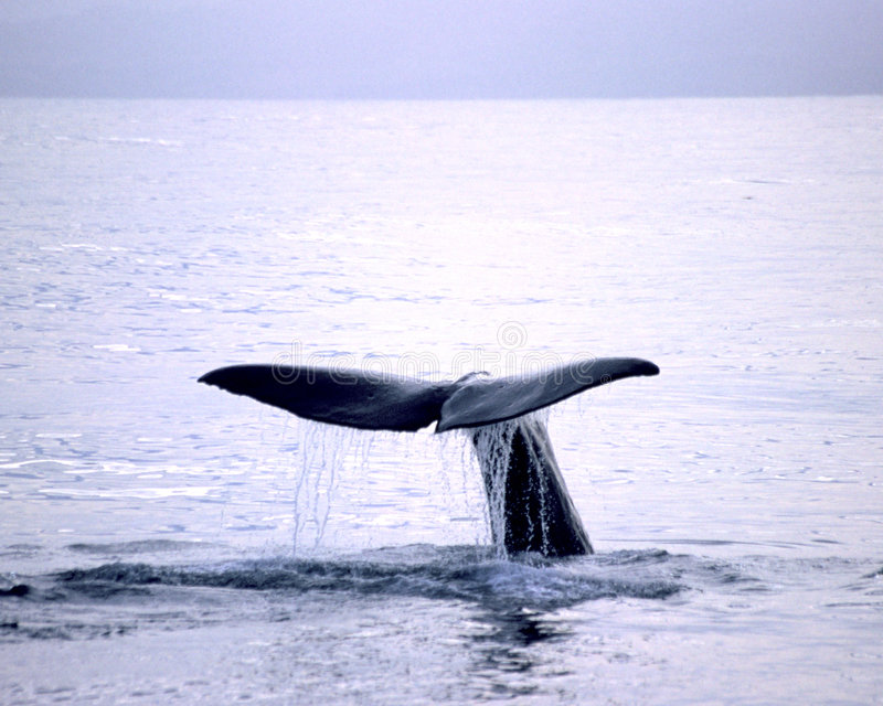 Blue Whale. Taking a dive of the shores of Kaikoura New Zealand royalty free stock images