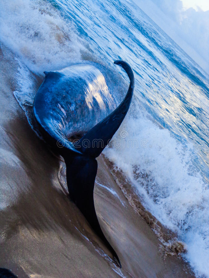 """Blue Whale. This is a carcass of Blue Whale after hitting with a ship, Known as """"ship strikes"""", these accidents are a growing concern in the seas off royalty free stock images"""